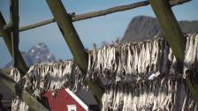 Om Lofotens beroende av torkad torsk